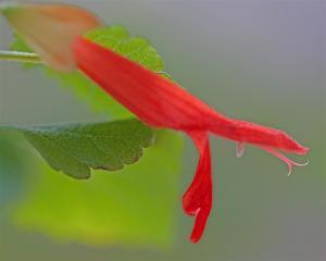 Salvia regla - Mountain Sage