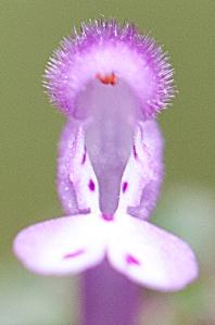Lamium amplexicaule