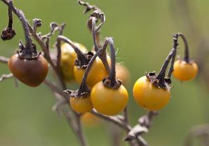 Solanum elaeagnifolium - Silverleaf Nightshade fruit