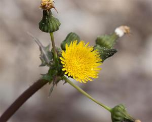 Sonchus sp. - Sow Thistle