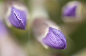 Texas Mountain Laurel buds - Sophora secundiflora