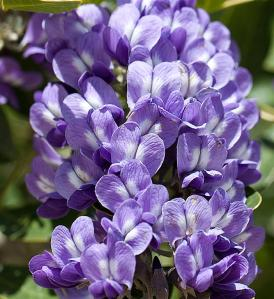 Sophora secundiflora - Texas Mountain Laurel