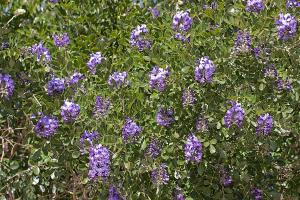 Sophora secundiflora - Texas Mountain Laurel