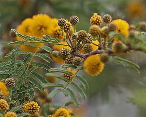 Acacia farnesiana - Huisache