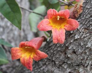 Bignonia Capreolata - Crossvine