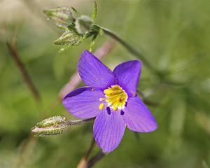 Blue Gilia - Gilia rigidula