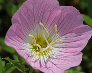 Oenothera speciosa - Pink Evening Primrose
