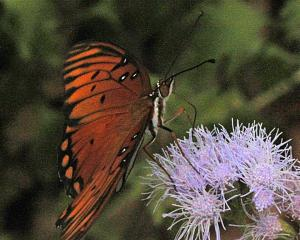 Gulf Fritillary on Gregg Mistflower