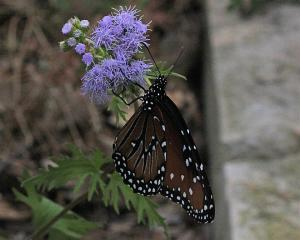 Queen on Gregg Mistflower