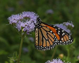 Danaus plexippus - Monarch on Gregg Mistflower