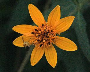 Wedelia texana - Zexmenia