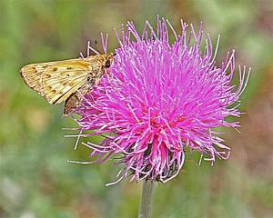 Hylephila phyleus on Cirsium texanum