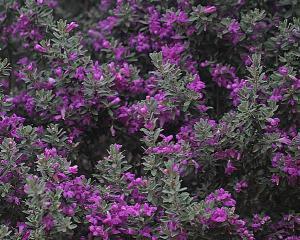 Cenizo - Leucophyllum frutescens