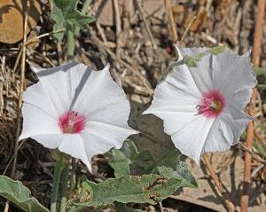 Convolvulus equitans - Texas Bindweed