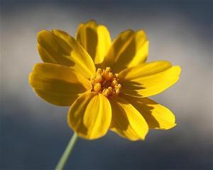 Thelesperma simplicifolium - Navajo Tea