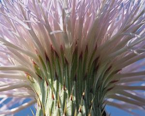 Cirsium undulatum - Plumed Thistle