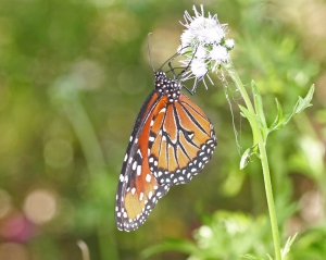 Queen Butterfly - Danaus gillippus