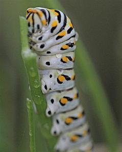 Papilio polyxenes - Black Swallowtail larva