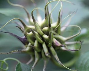 Clematis pitcheri - Purrple Leatherflower