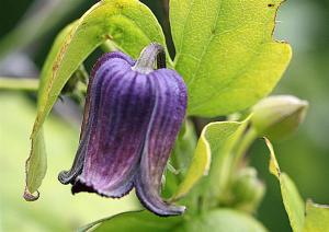 Clematis pitcheri - Purple Leatherflower