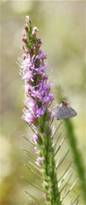 Liatris with hairstreak