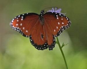 Queen Butterfly- Danaus gilippus