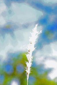 Bothriochloa laguroides ssp torreyana - Silver Bluestem