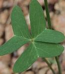 Oxalis drummondi - Leaves