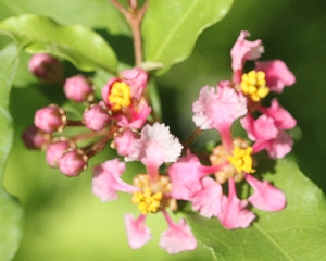 Malpighia glabra - Barbados Cherry