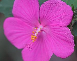 Pavonia lasiopetala - rose pavonia