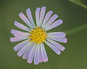 Aster subulatus possibly