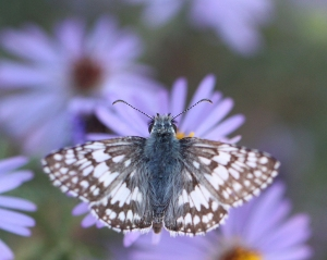 Pyrgus communis - Common Checkered Skipper pn Symphyotricum oblongifolium - Fall Aster