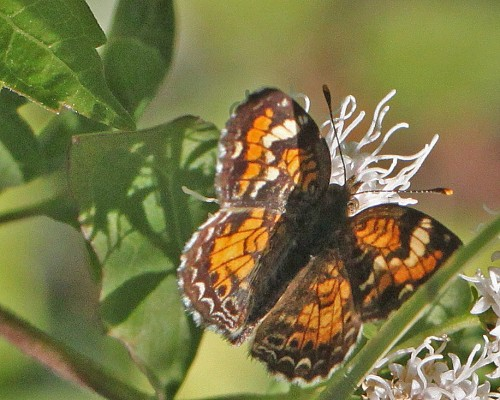 Phyciodes phaon - Phaon Crescent on Ageratina havanensis - White Mistflower