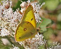 Colias eurytheme- Orange Sulphur