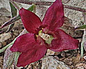 IMG_4639 Krameria lanceolata - rattany