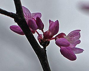 Redbud - Cercis canadensis