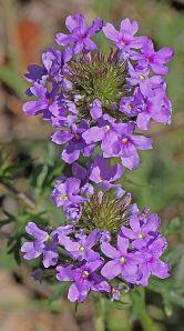 Glandularia bipinnatifida - Prairie Verbena