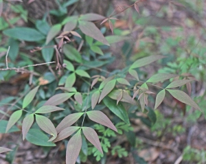 Nandina domestica - Heavenly Bamboo