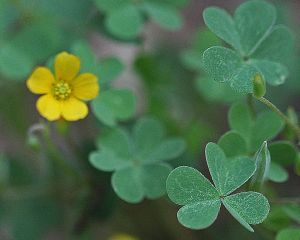 Oxalis dillenii - Slender Yellow Woodsorrel