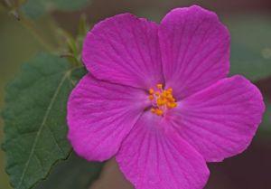Pavonia lasiopetala - Rock Rose