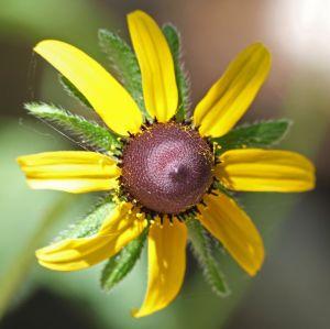 Rudbeckia hirta - Blackeyed Susan
