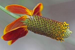 Ratibida columnifera- Mexican Hat