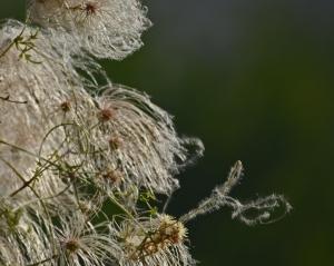 Old man's beard (Clematis drummondii)