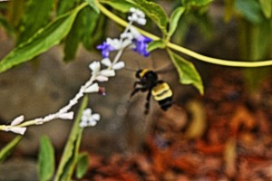 2014-08-16-rjk-salvia-farinacea-and-bumblebee