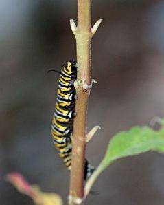 Larva - Danaus plexippus (Monarch)