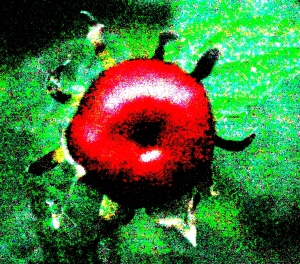 Manzanilla (Malvaviscus arboreus var. drummondii)